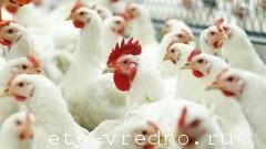 Польза и вред курятины